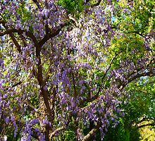 Wisteria in a Tree by Ron Hannah