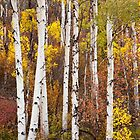Fall Aspen  by Teresa Smith
