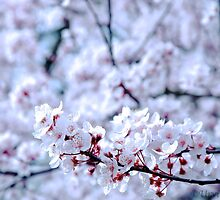 Cherry Blossoms by urvid