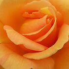 Orange Rose by Cindy Hitch