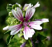 Zebra Mallow Flower by taiche