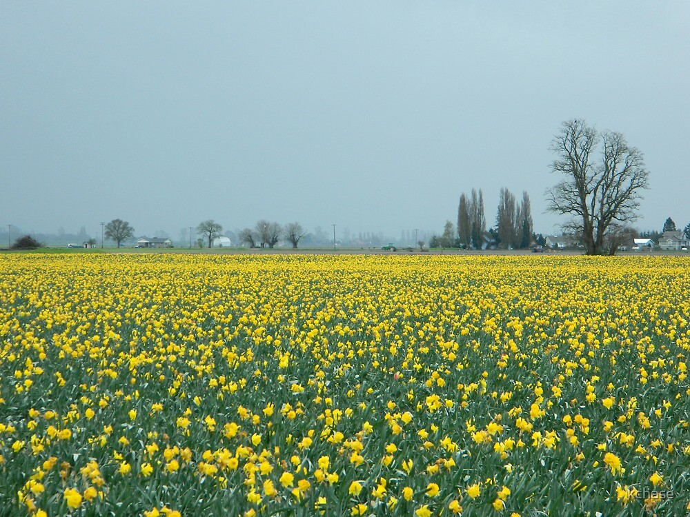 Daffodils by kchase