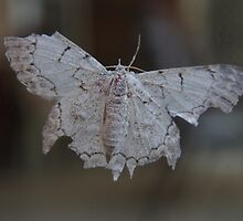 Albino Moth.... by clay2510