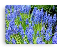 Grape Hyacinths Canvas Print
