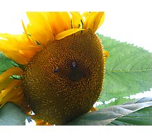 Sunflower #3 Photographic Print