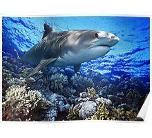 TIGER SHARK Galeocerdo cuvier (POSTER VERSION) Poster