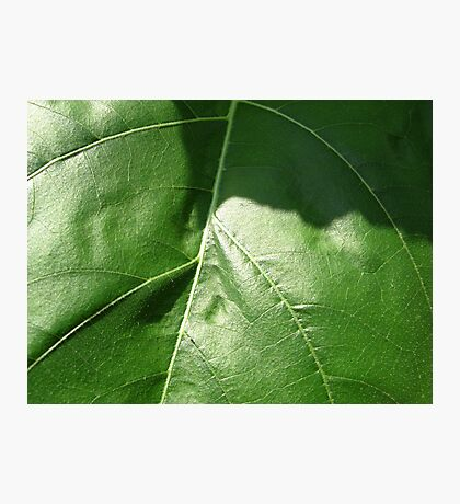 Sunflower Leaf Photographic Print