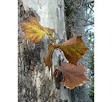 Sycamore gold Photographic Print