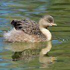 Hoary Headed Grebe taken near White Cliffs. by Alwyn Simple