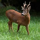 Roe deer by Luciano Fortini