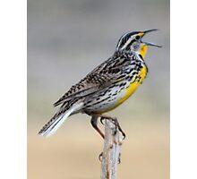 Lonely Meadowlark Photographic Print