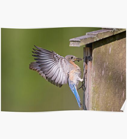 Bluebird at the Nesting Box Poster