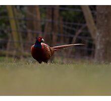 Pheasant! Photographic Print