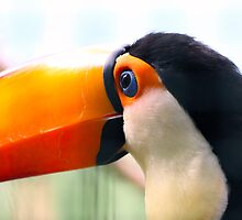 Toucan by Richard Eijkenbroek