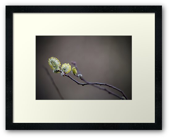 Catkins by Richard Eijkenbroek