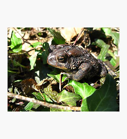 American Toad Photographic Print