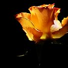 Orange rose - Part 1 by Ronny Falkenstein