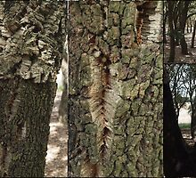 Cork Oak Trees Canberra ACT by Tom McDonnell