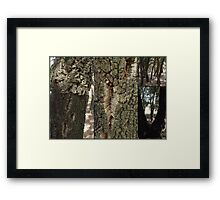 Cork Oak Trees Canberra ACT Framed Print