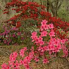 The Azaleas In Bloom by JHRphotoART