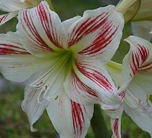 Peppermint Lily by paulbl
