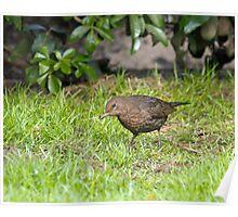 Blackbird Looking for Food Poster
