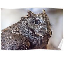 The Grey Screech Owl Poster