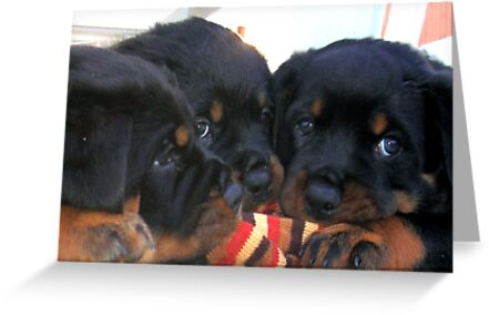 Three Rottweiler Puppies Playing Tug by taiche