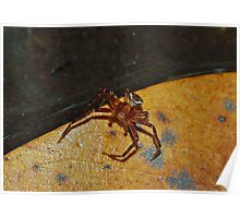 Three Banded Crab Spider  Poster