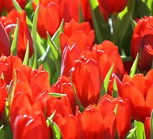 MIFGS - Red Tulips - Two by Sammy Nuttall