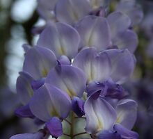 Purple and Violet Wisteria Blossom by taiche