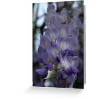 Purple and Violet Wisteria Blossom Greeting Card