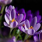 Purple Spring Crocus by jacqi