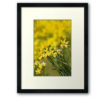 Daffodil Chorus Framed Print