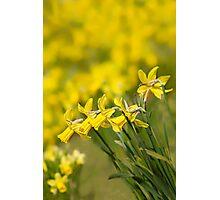 Daffodil Chorus Photographic Print