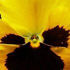 Golden Black Eyed Pansy Violet Yellow Flower by BluedarkArt