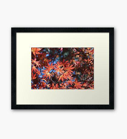 Autumnal Acer Framed Print