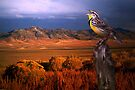 Evening Meadowlark by Arla M. Ruggles