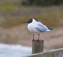 Black-headed gull in Norfolk England by Keith Larby