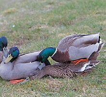 Three Frisky ducks in Norfolk England by Keith Larby