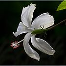 White Hibiscus by alan tunnicliffe