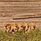 Five fox kits by old Saskatchewan granary by pictureguy