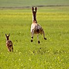 Mule Deer doe and fawn bounding through Saskatchewan field by pictureguy