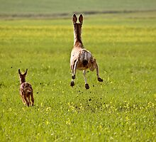 Mule Deer doe and fawn bounding through Saskatchewan field by pictureguy