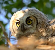 Great Horned Owlet in nest in scenic Saskatchewan by pictureguy
