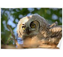 Great Horned Owlet in nest in scenic Saskatchewan Poster