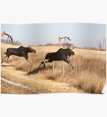 Young moose leaping over barbed wire fence Poster