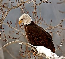 Bald Eagle perched in tree by pictureguy