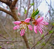 Peach Blossoms  by Susan S. Kline