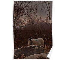 Hill Sheep 3 , England Poster